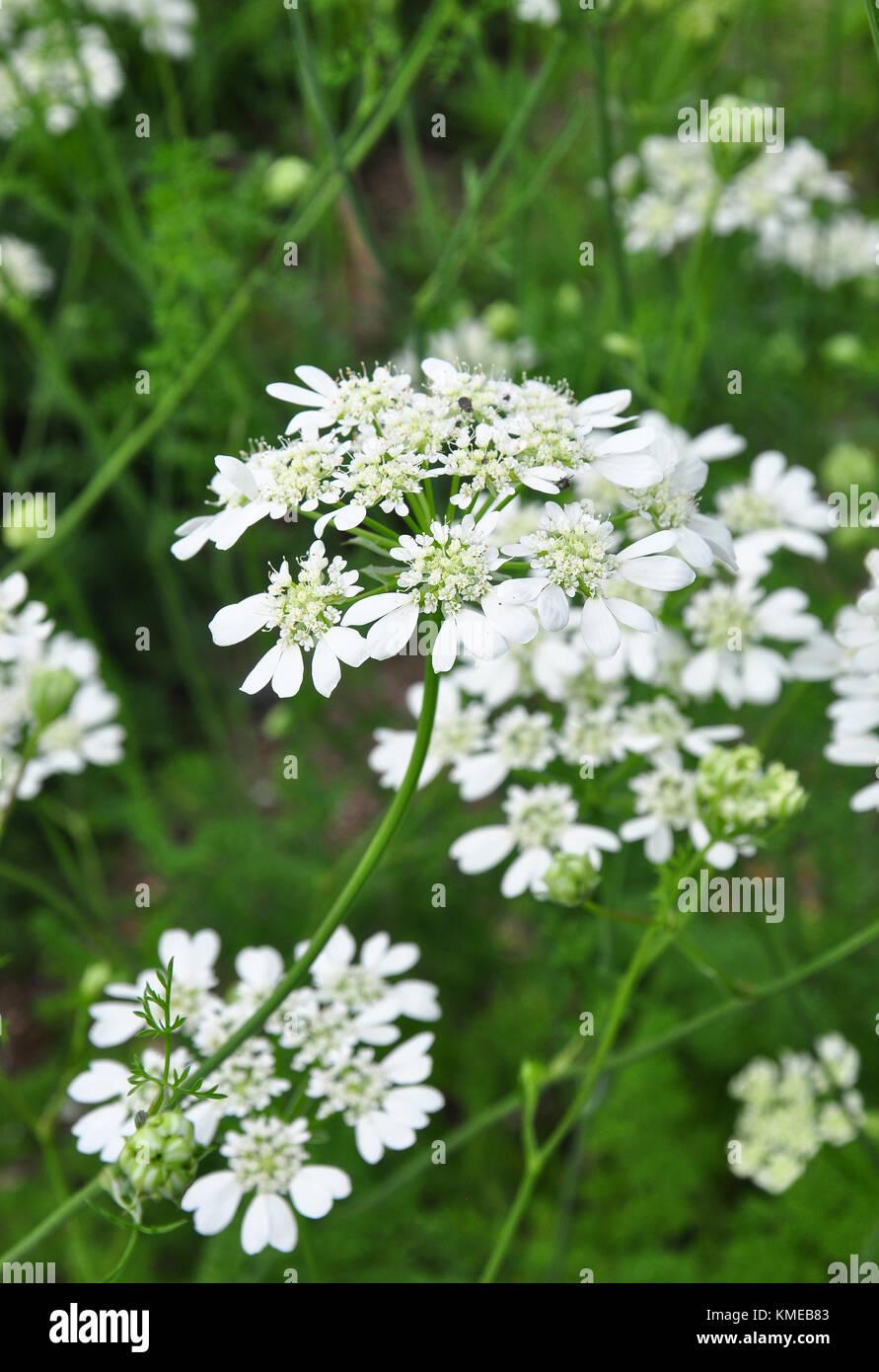 White lace flower (Orlaya grandiflora) Stock Photo