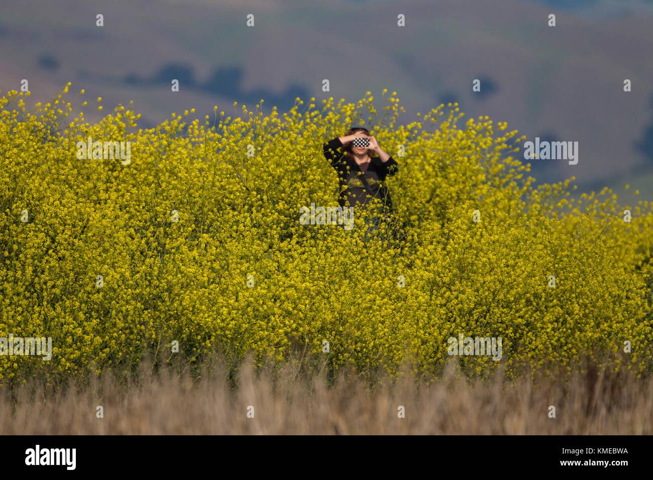 woman with smartphone standing among invasive mustard plants at restored salt ponds alviso california usa