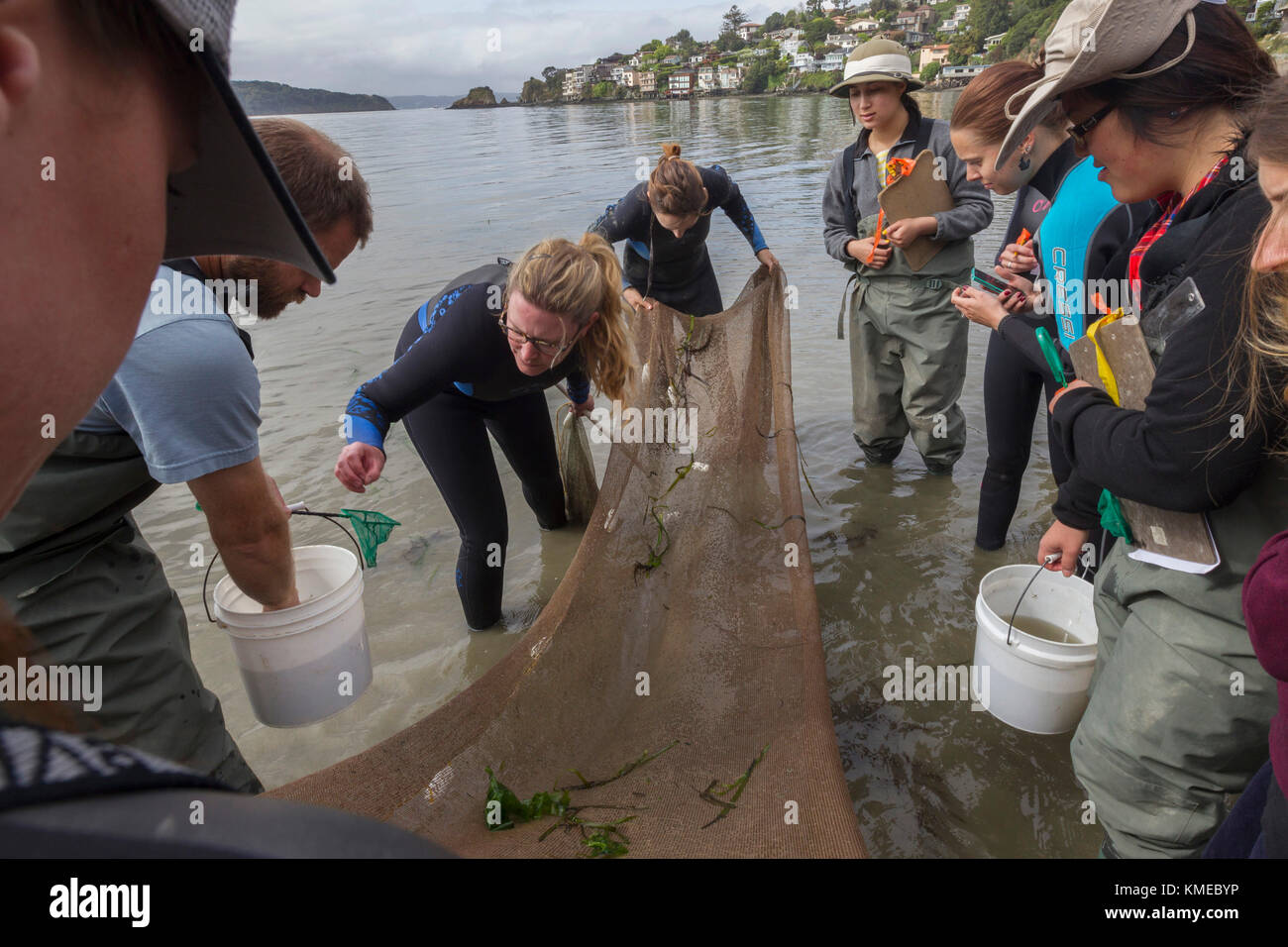 Wetlands Ecology Class,San Francisco State University,Tiberon,CA.The students used a seine to look  for animal life - Stock Image
