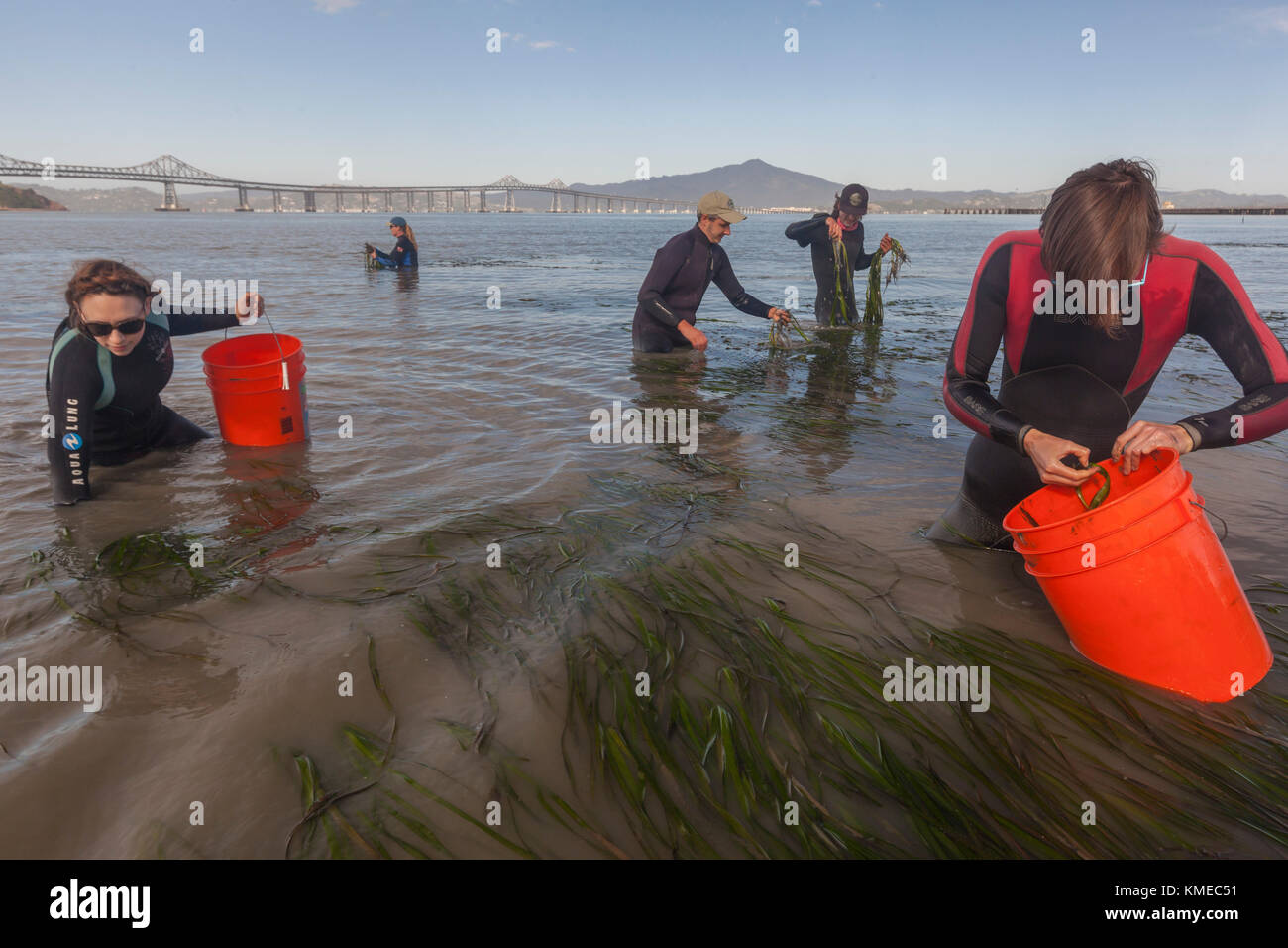 Five people collecting eelgrass for restoration in bay at Point Molate, California, USA - Stock Image