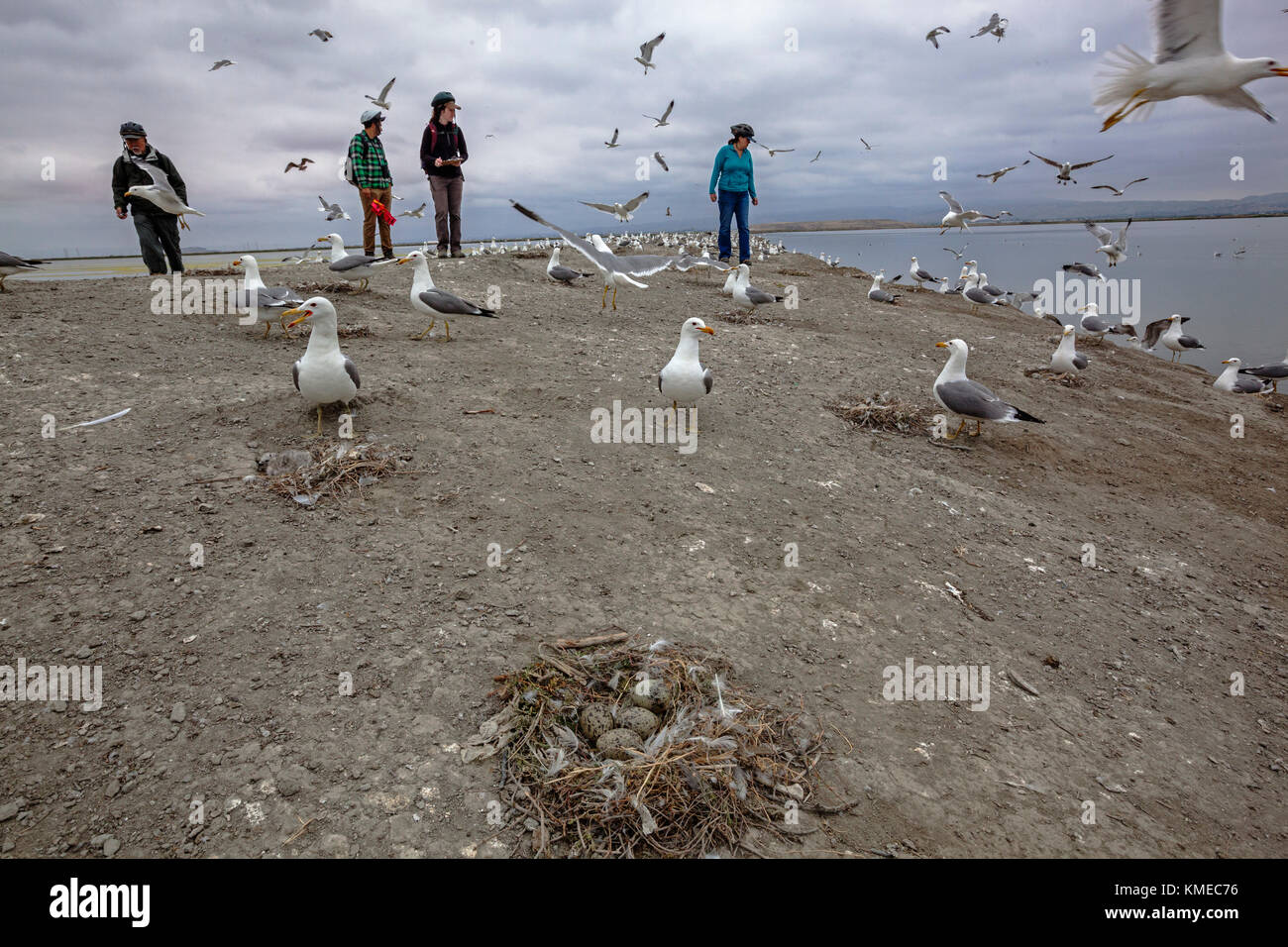 Members of San Francisco Bay Bird Observatory survey California Gull in South Bay restoration area near Aviso, California, - Stock Image