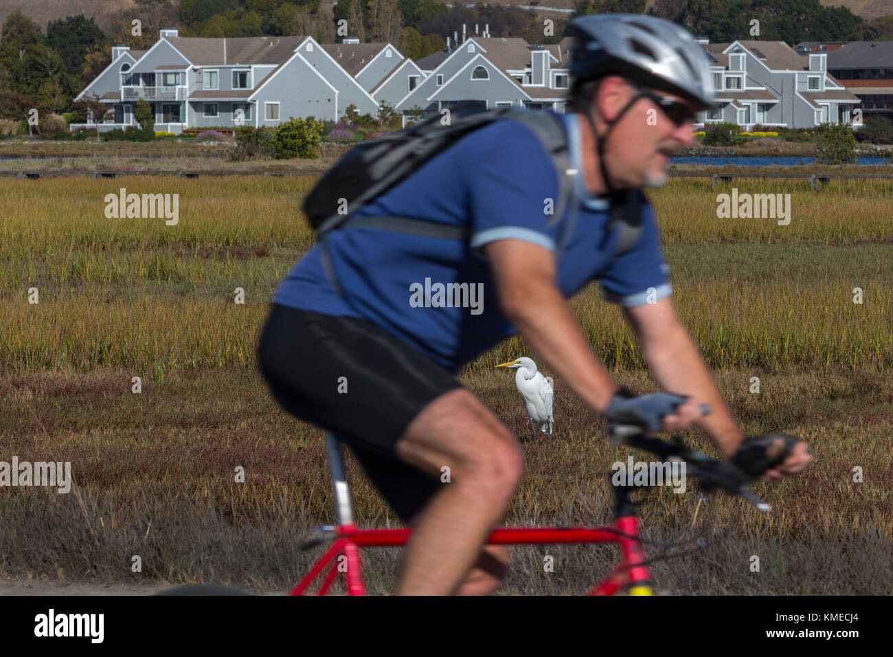 cyclist and egret in marsh in background,Bay trail,Bothin Marsh,Mill Valley,California,USA - Stock Image