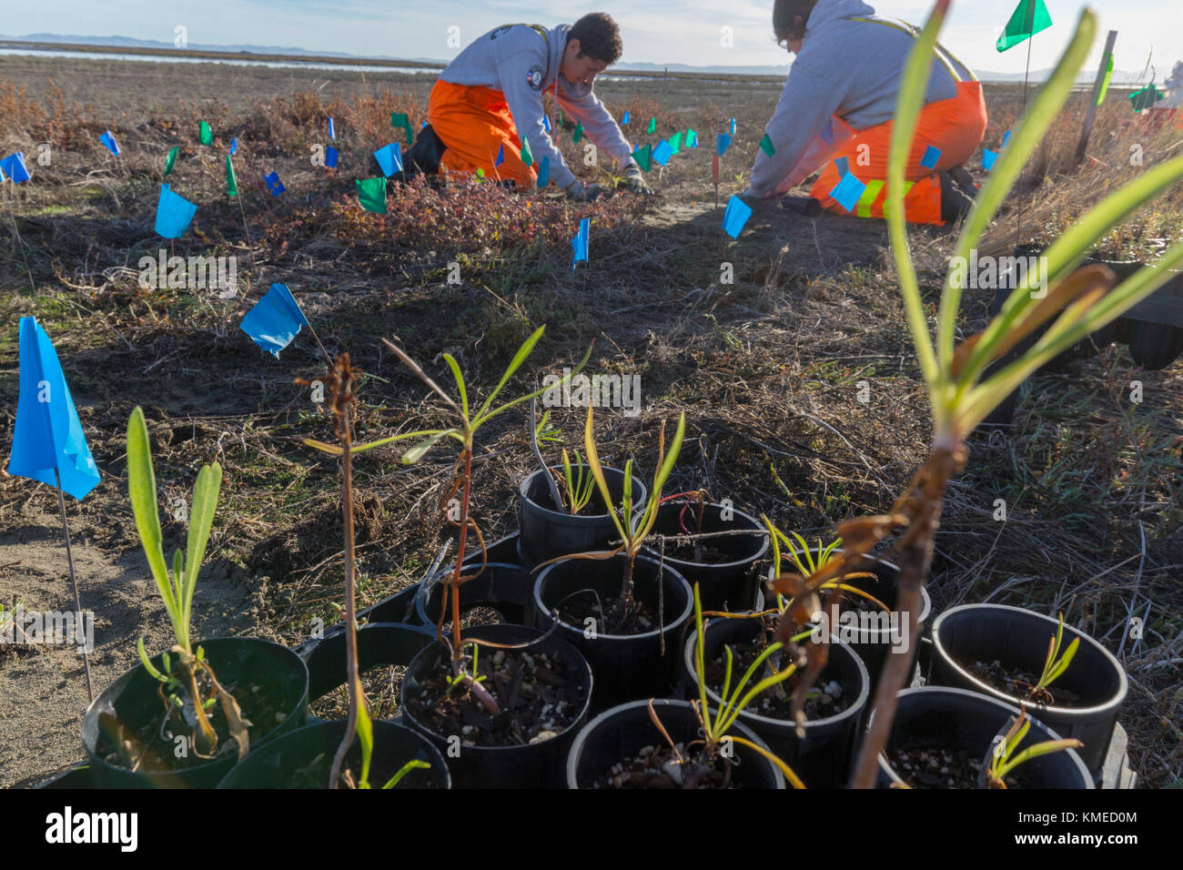 seedlings and AmeriCorps volunteers planting native wetlands species in the restored Hamilton Field Tidal Marsh,Novato,California,USA - Stock Image