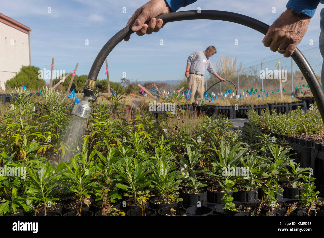 AmeriCorps and community volunteer watering native plants in the nursery at restored Hamilton Field Tidal Marsh,Novato,California,USA - Stock Image
