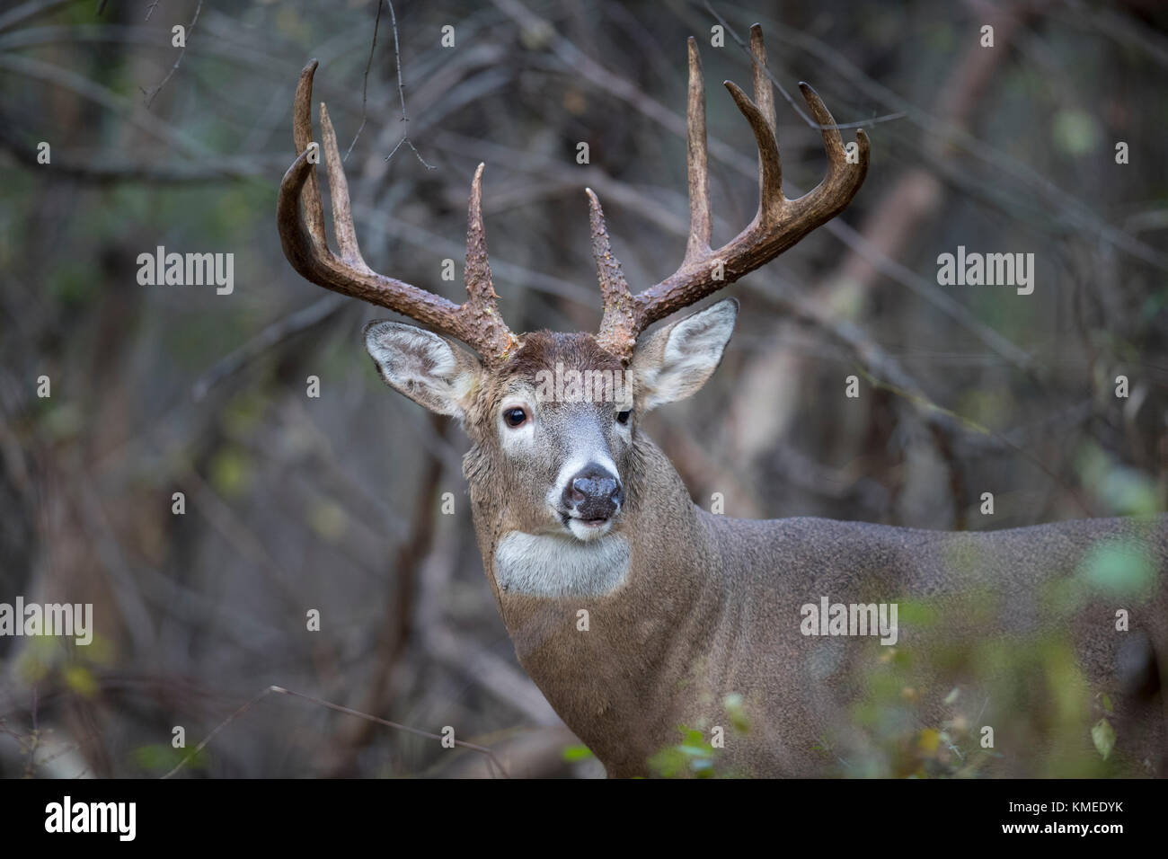 A very large, mature buck whitetail deer looking alert. - Stock Image
