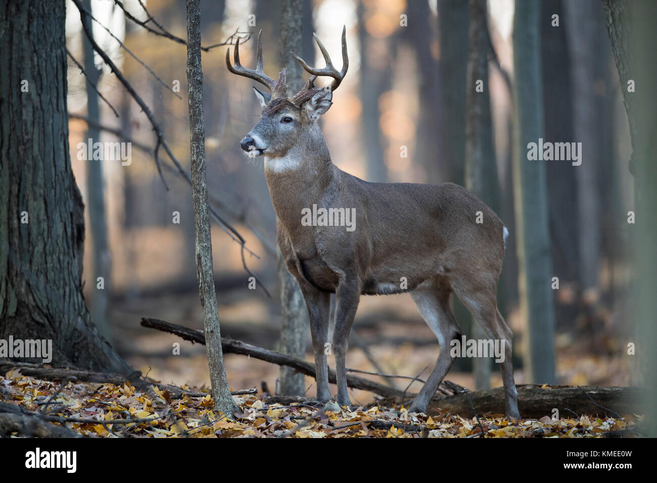 A mature buck whitetail deer standing very alert in the forest. - Stock Image