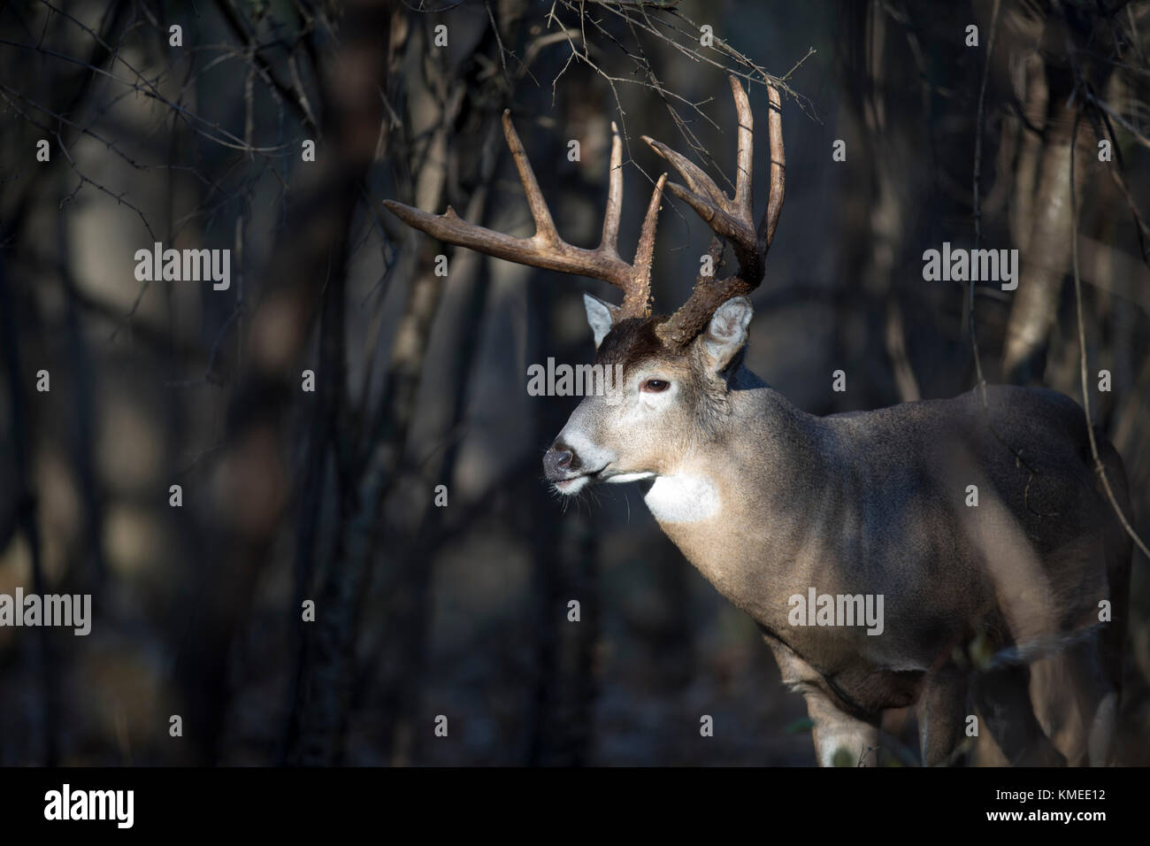 A large buck whitetail deer with his head in a sunbeam. - Stock Image