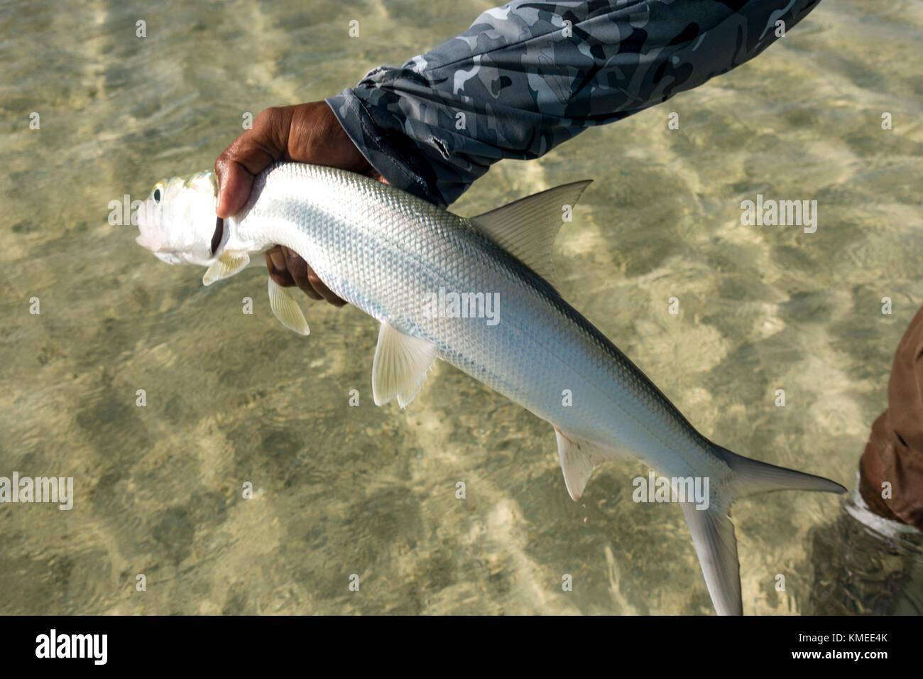 Bonefish on Kiribati Atoll - Stock Image