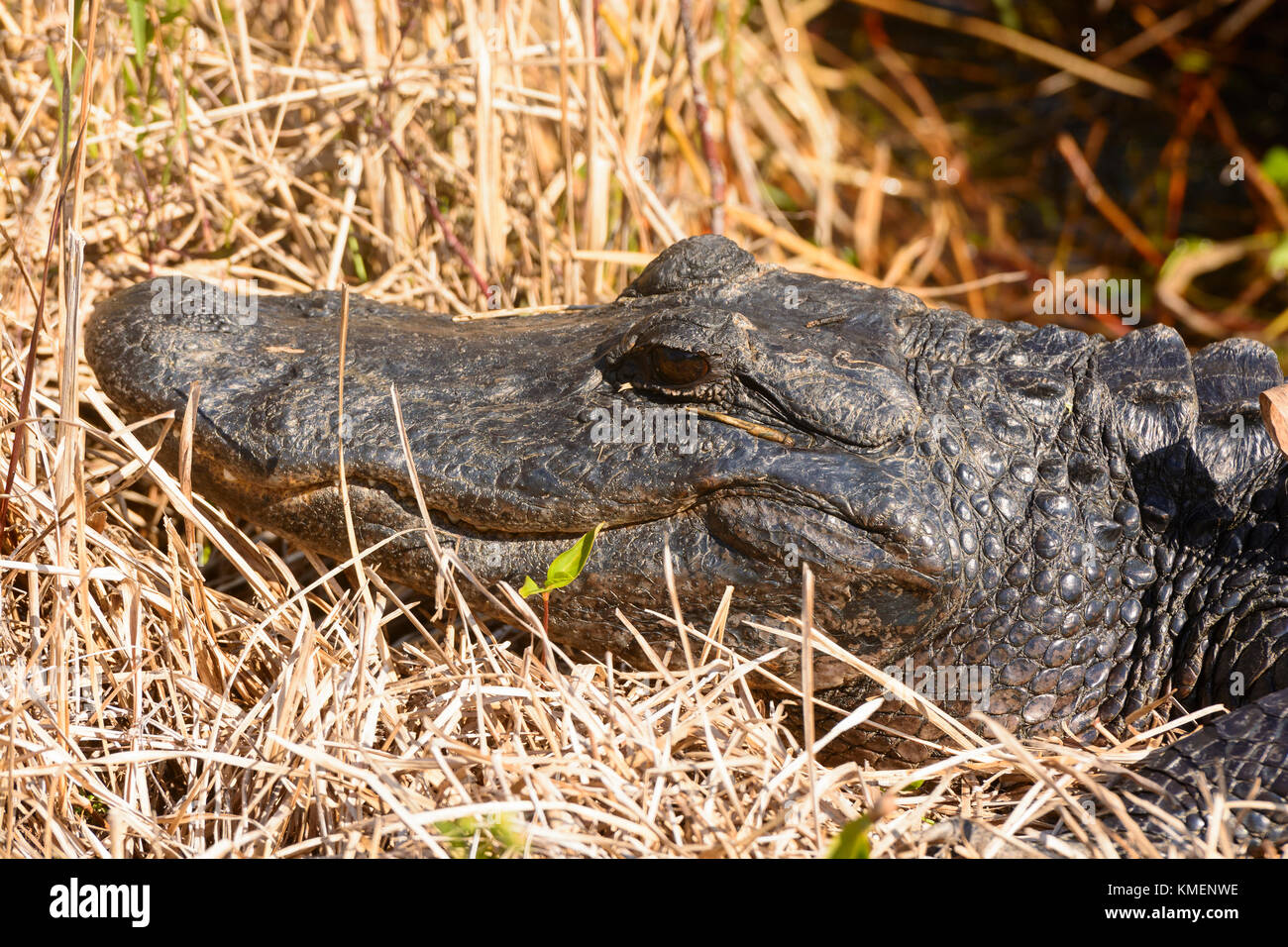 American Alligator in the Everglades along the Anhinga Trail - Stock Image
