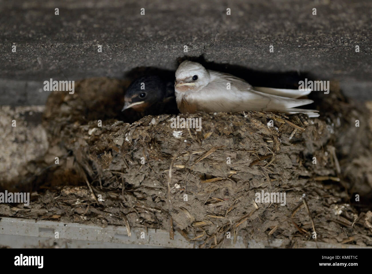 Barn Swallow ( Hirundo rustica ), chicks in nest, almost fledged, one with a rare pigment defect, white plumage, - Stock Image