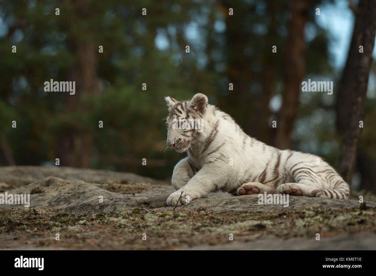 Royal Bengal Tiger / Koenigstiger ( Panthera tigris ), white animal, resting on rocks at the edge of a forest, nice - Stock Image