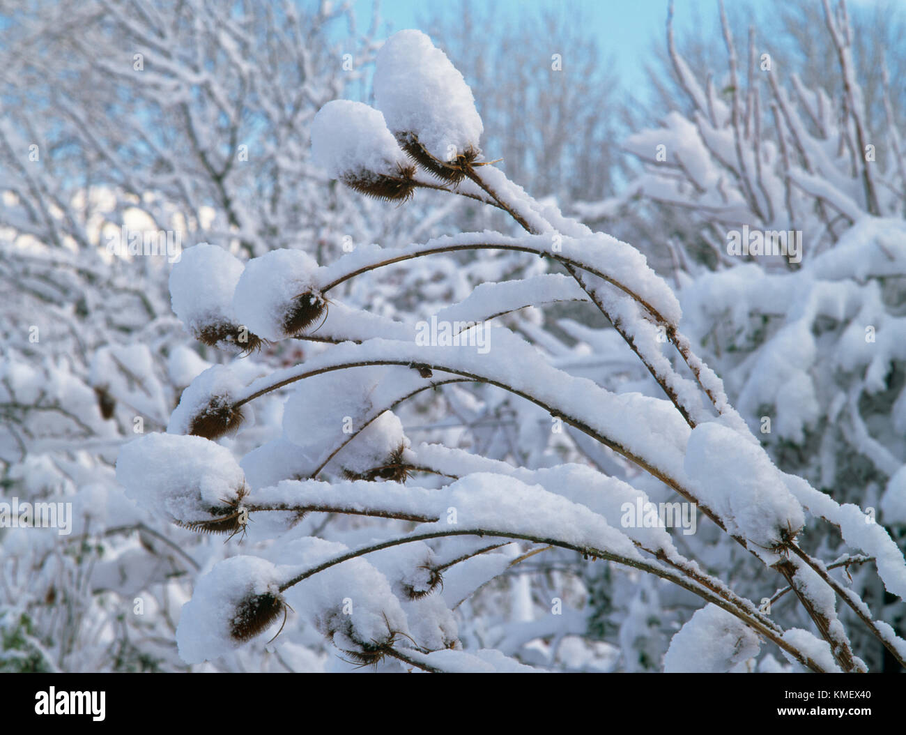 Dipsacus fullonum or Fuller's teasel seed heads covered in, and weighed down by winter snow. Architectural biannual - Stock Image