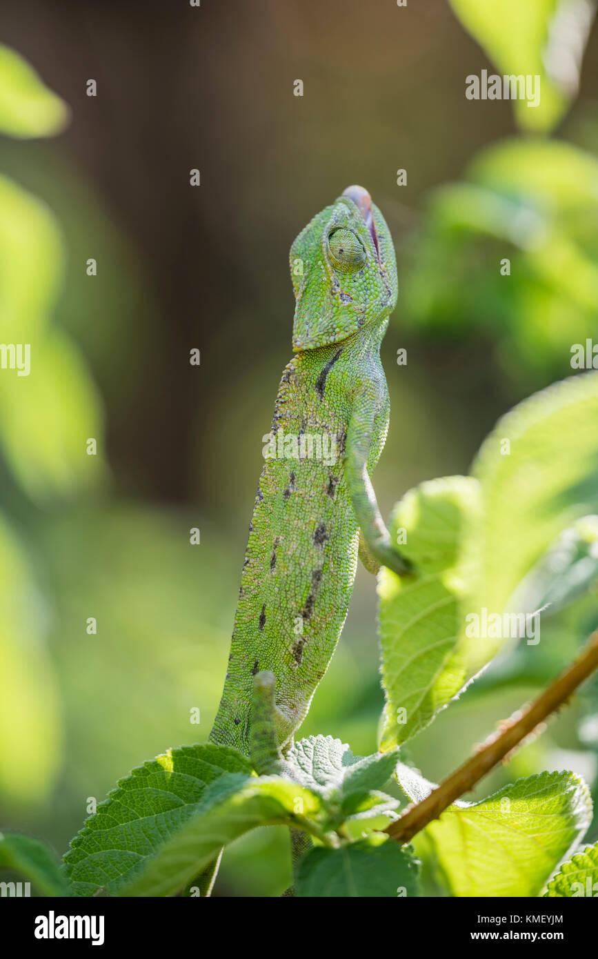 Europaeisches Chamaeleon ,Chamaeleo chamaeleon, Common Chameleon - Stock Image