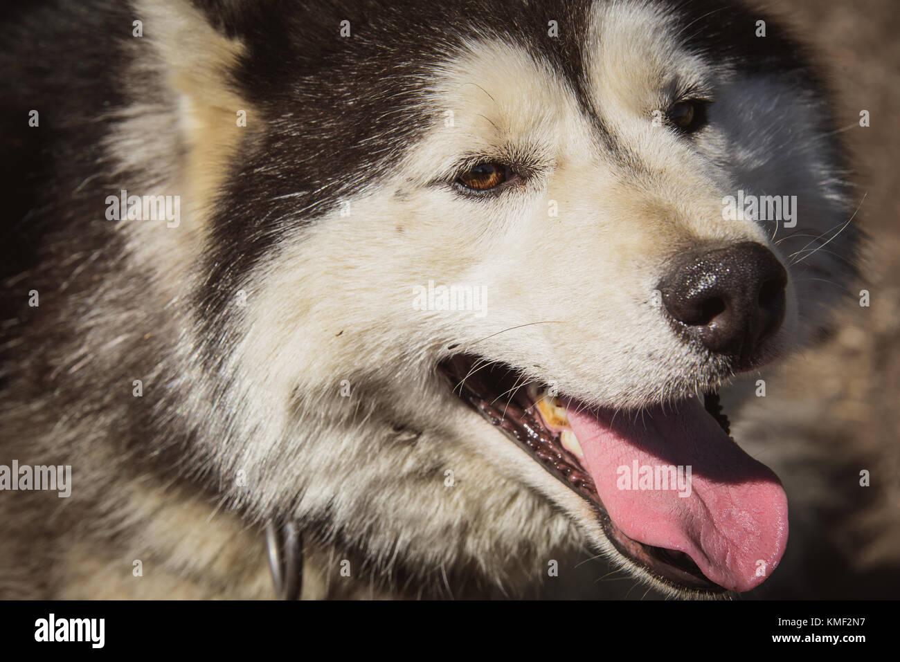 Siberian husky dog smiling in the summer - Stock Image