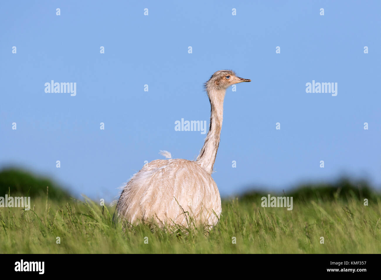 White greater rhea / American rhea / ñandú (Rhea americana) foraging in farmland, invasive species in - Stock Image