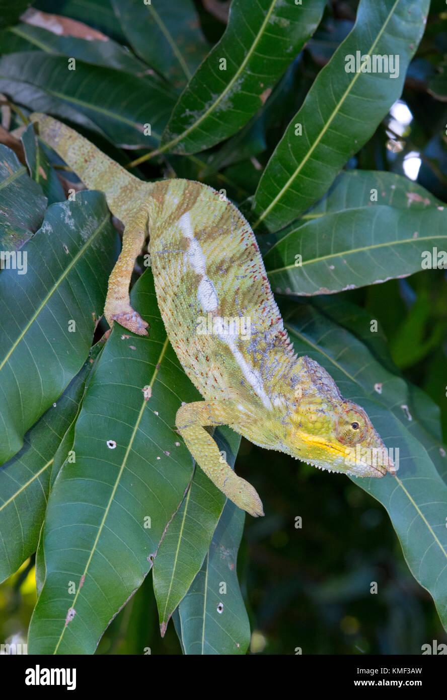 Panther chameleon (Furcifer pardalis, Chamaeleo pardalis), on a branch, Nosy be, Madagascar - Stock Image