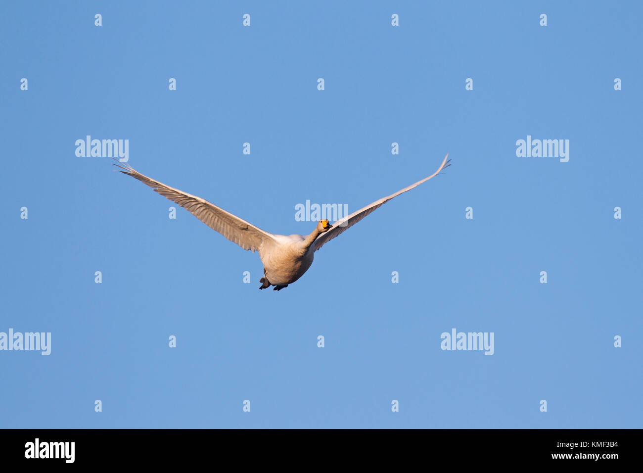 Whooper swan (Cygnus cygnus) in flight against blue sky Stock Photo