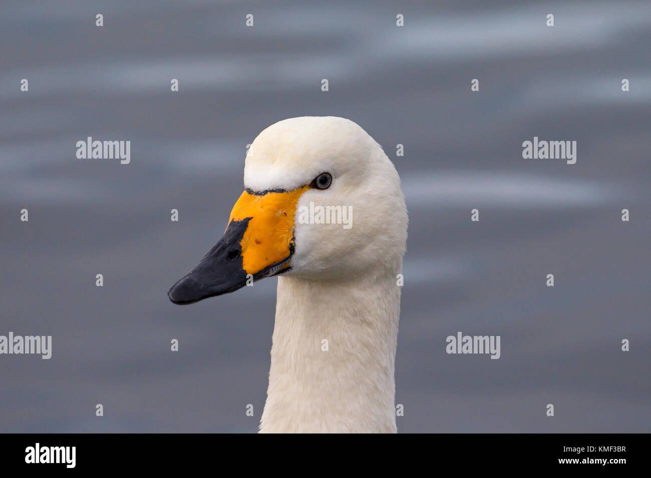 Close up portrait of whooper swan (Cygnus cygnus) swimming in winter - Stock Image