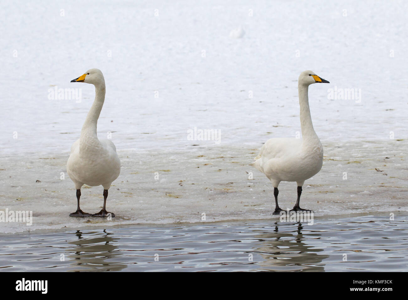 Two whooper swans (Cygnus cygnus) standing on ice of frozen pond in winter Stock Photo