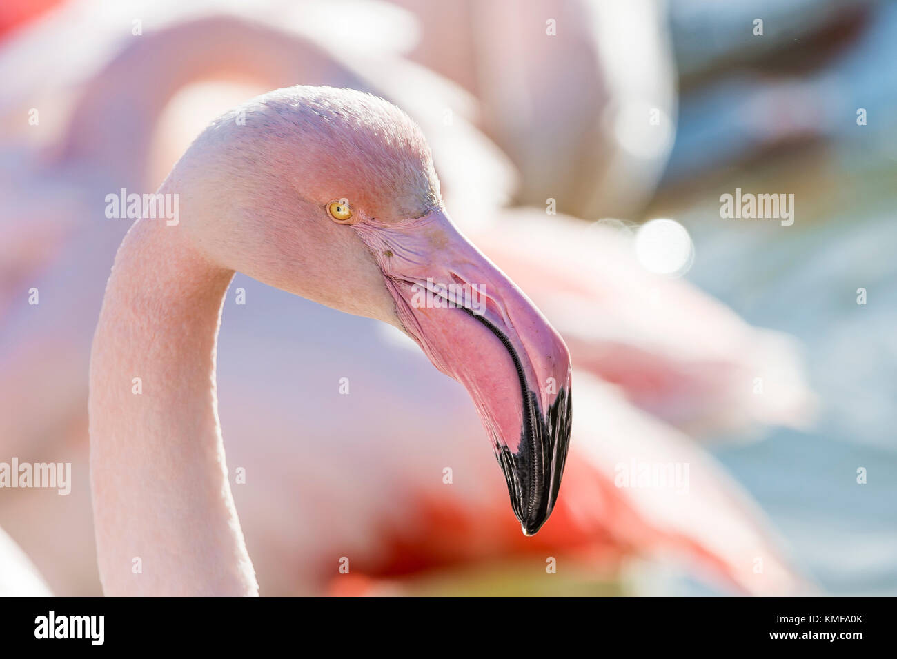 Flamants Roses Camargue Bouches du Rhone, France, PACA 13 - Stock Image