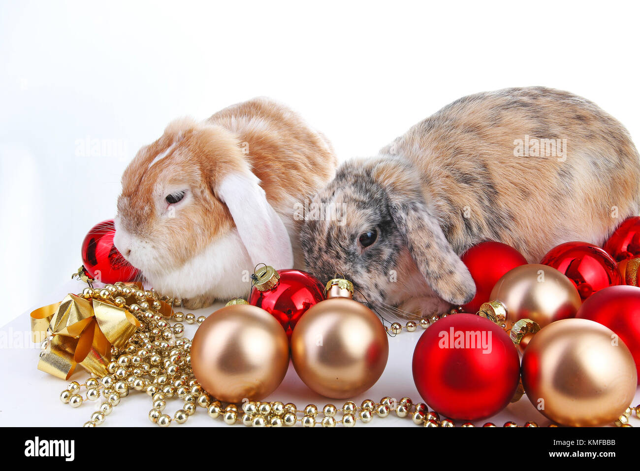 Christmas animals. Cut lop eared rabbit pet friends on isolated white studio background. Rabbits with red and gold - Stock Image