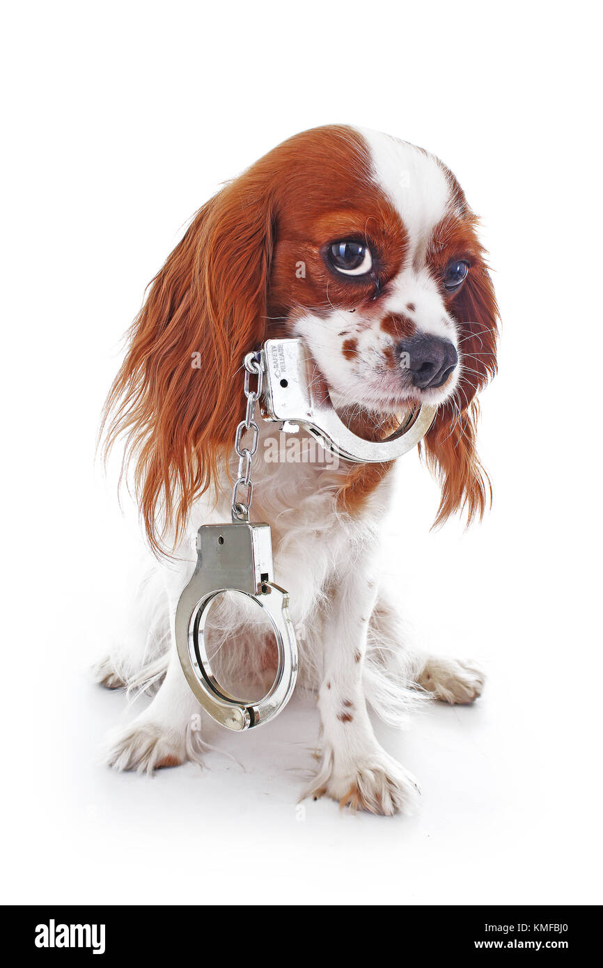 Dog with handcuffs. Illustration against animal cruelty or other concept. Cavalier king charles spaniel dog puppy Stock Photo