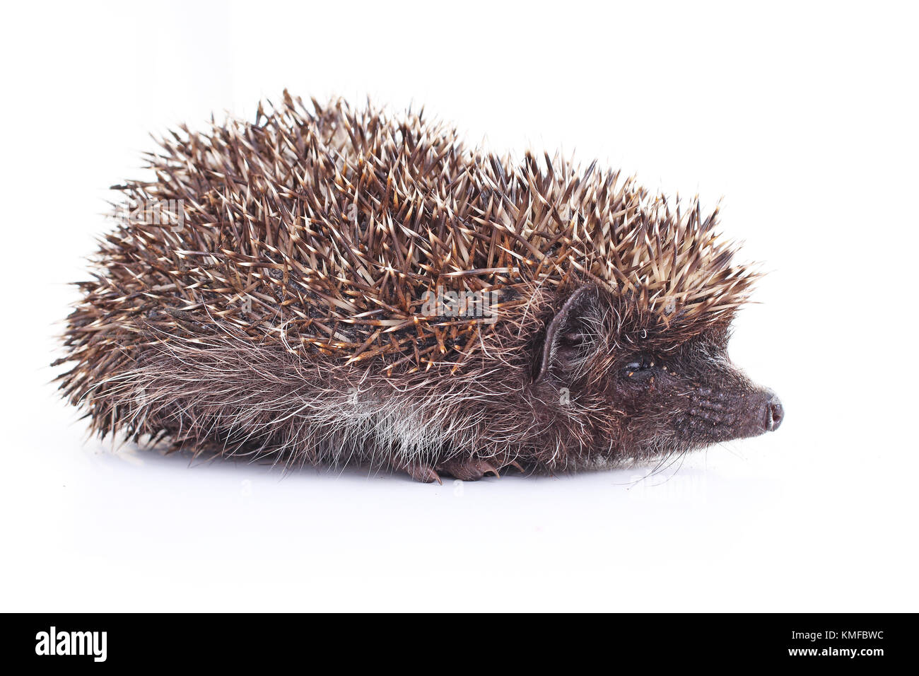 Hedgehog wild animal quill closeup on isolated white studio background. - Stock Image