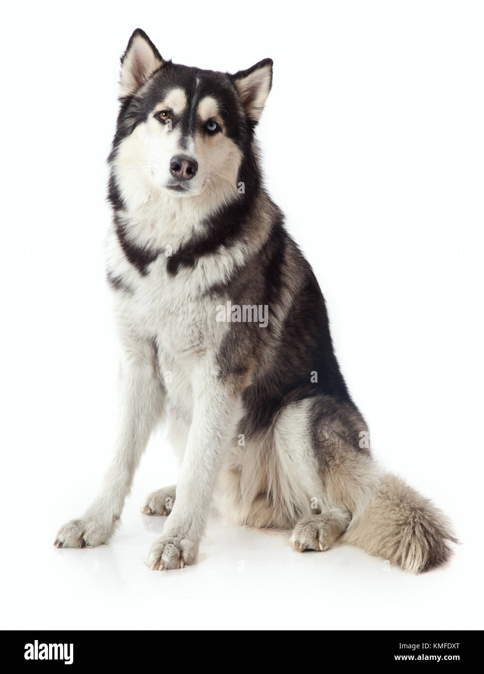 adult male husky in the studio on a white background - Stock Image