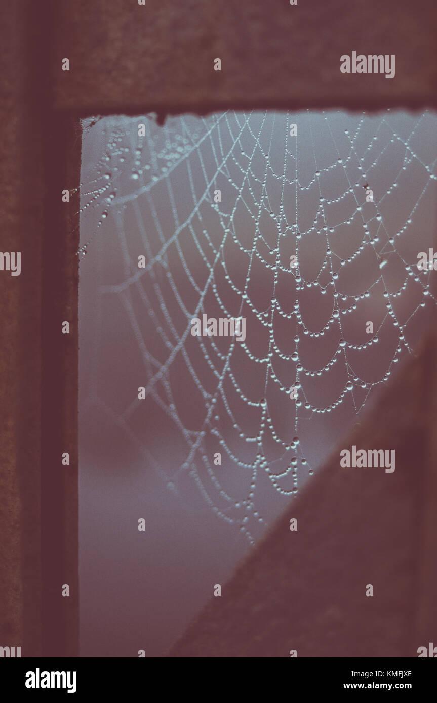 Morning dew in the spiderweb (cobweb) - Stock Image
