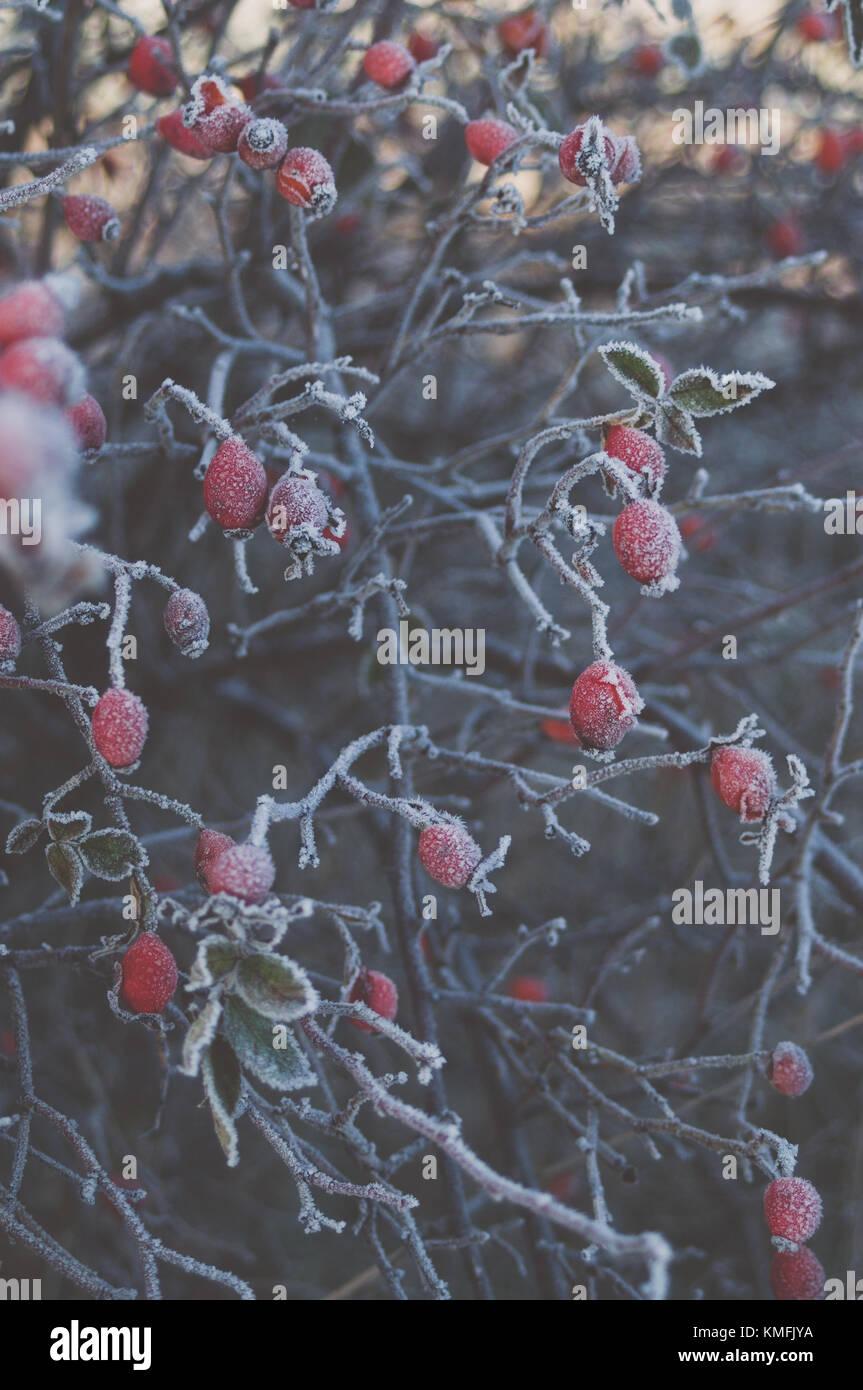 Vintage soft light. Red Eglantine hips. - Stock Image