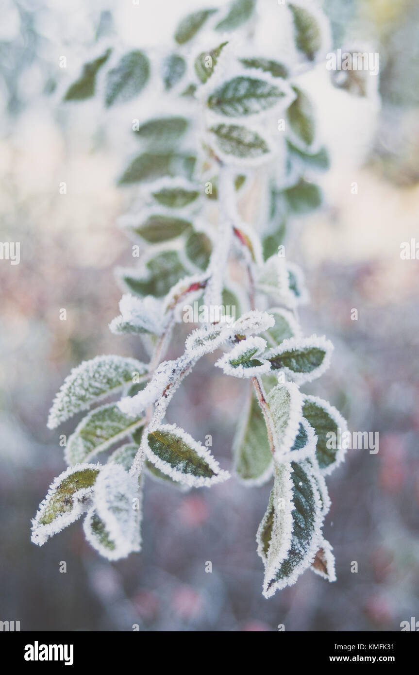 Closeup of frozen sweetbrier leaves. - Stock Image