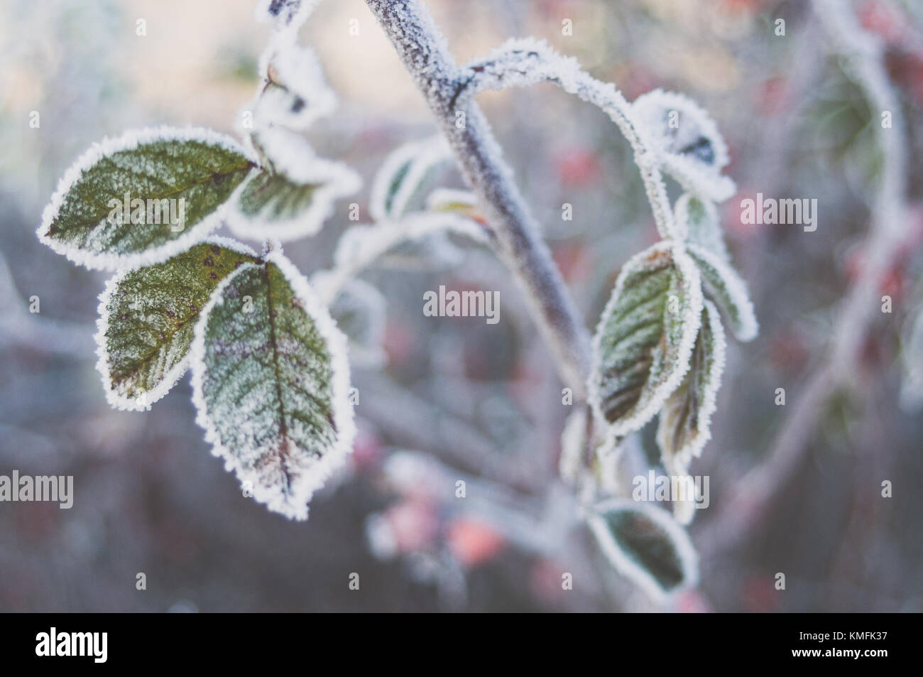Hoarfrost crystals on sweetbrier leaves. - Stock Image