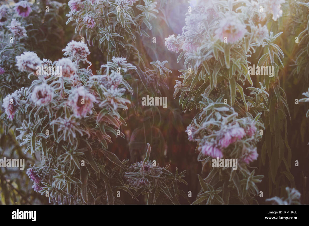 Morning sun rays in aster bouquet. - Stock Image