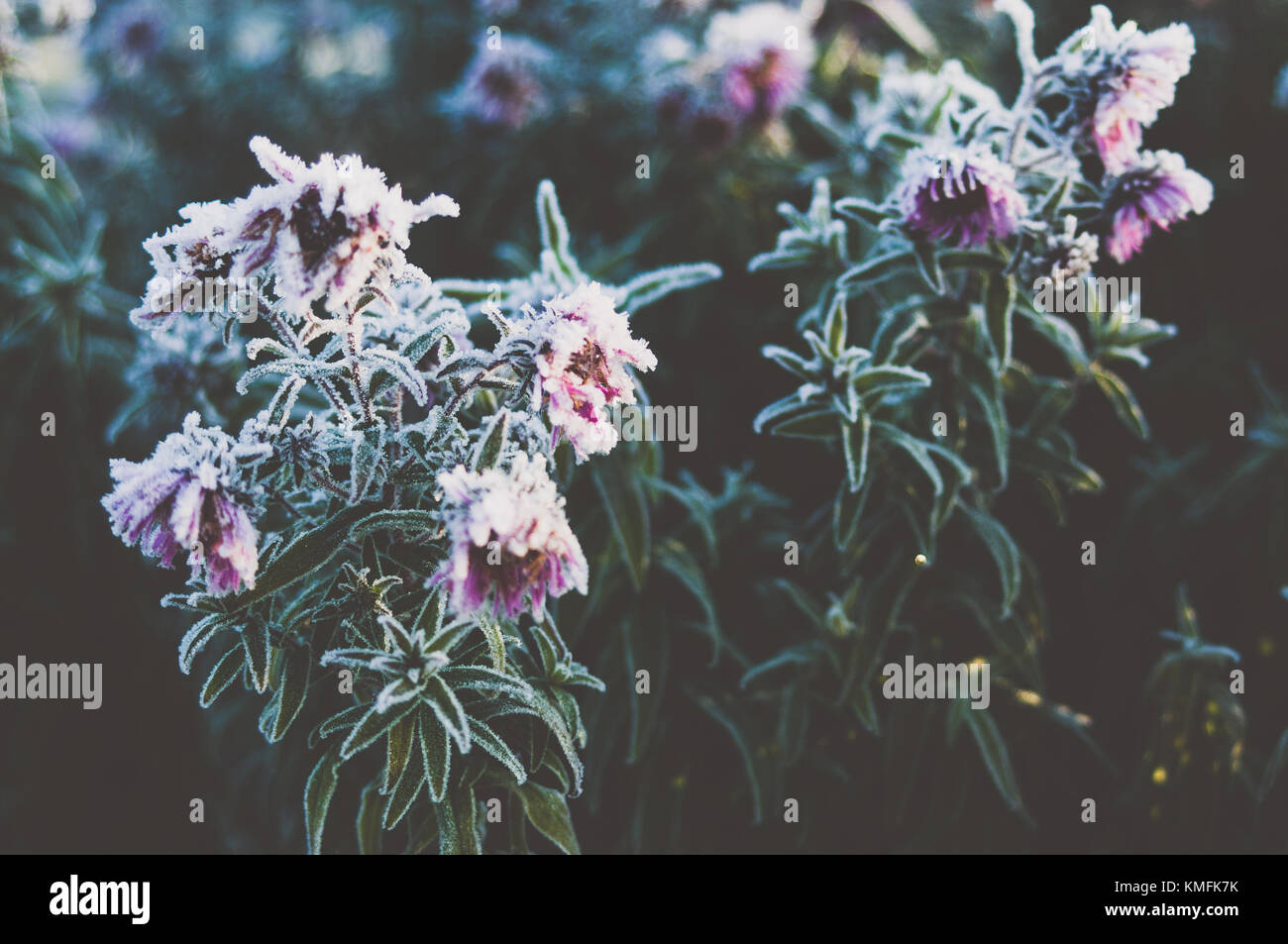 Morning light. Aster in the garden. - Stock Image