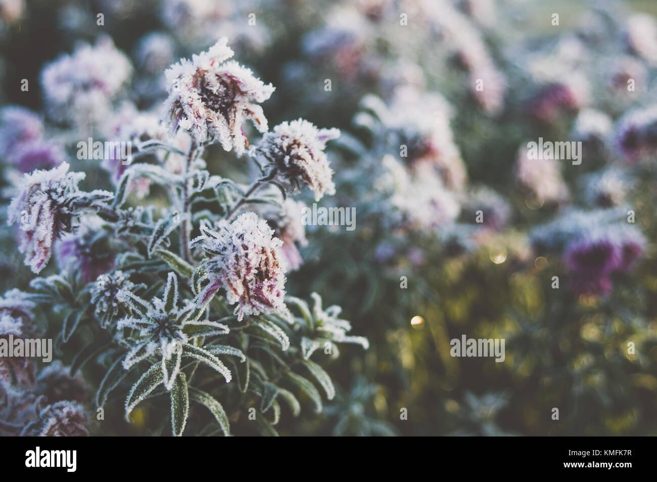 Frozen flowers. Romantic morning. - Stock Image