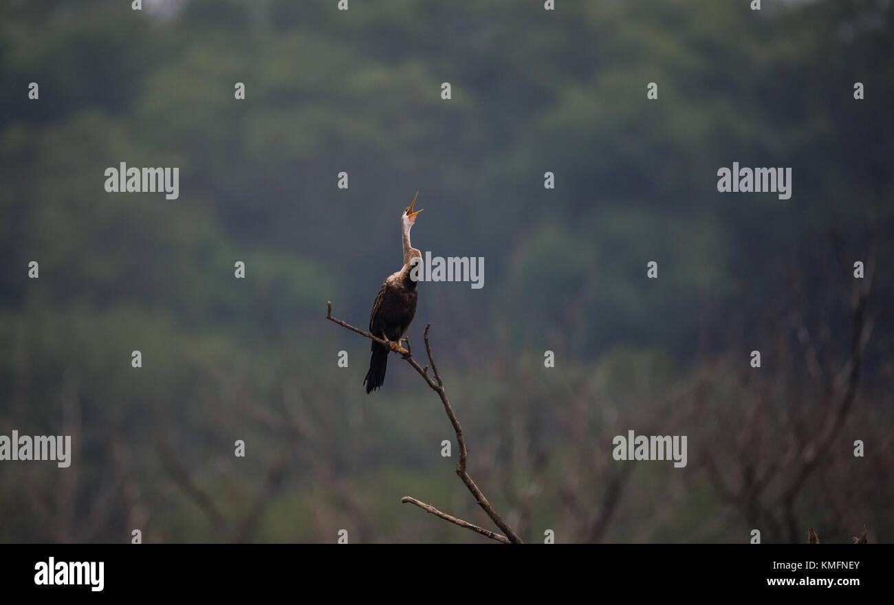 Oriental Darter bird with open beaks - Stock Image