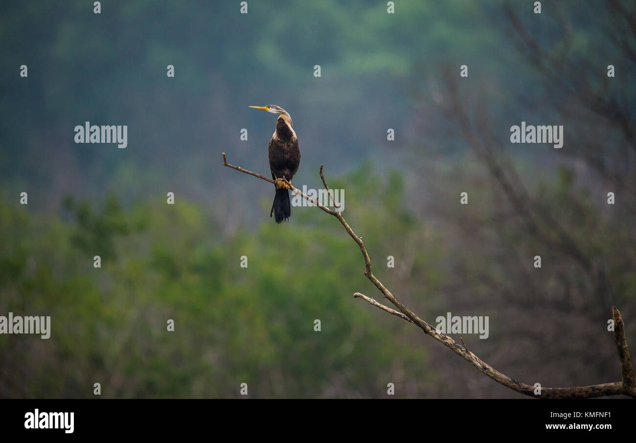 Oriental Darter perched on a tree branch - Stock Image