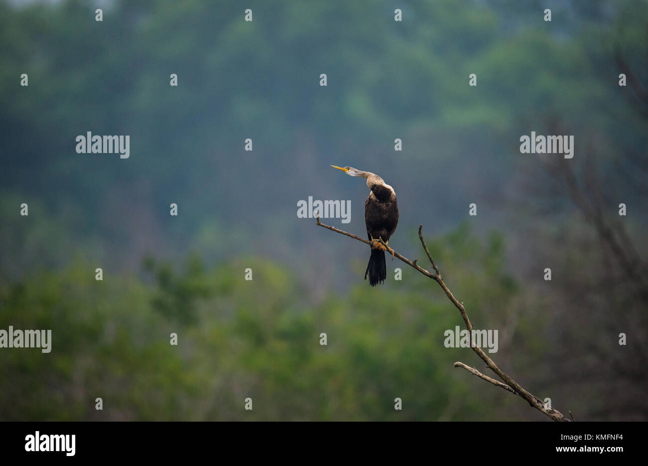 Perched Oriental Darter bird with neck out - Stock Image