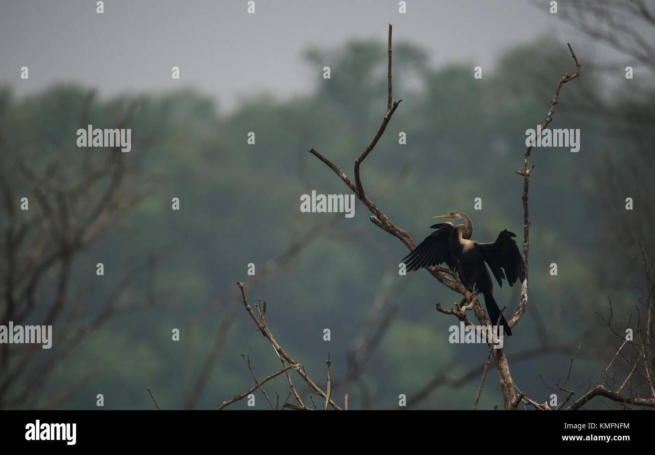 Oriental Darter Bird basking under the sun - Stock Image