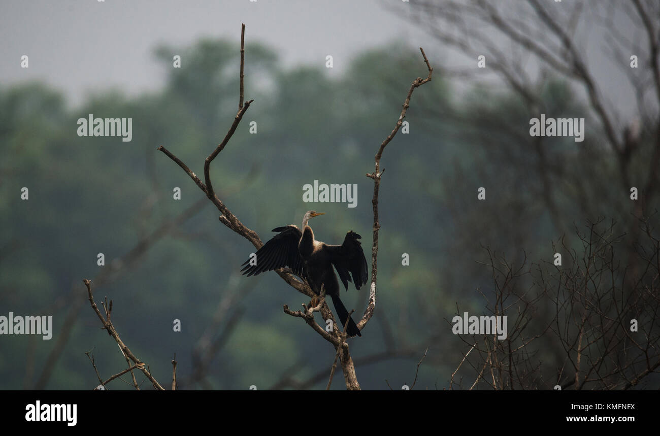 Oriental Darter bird perched on a tree top drying its wings - Stock Image
