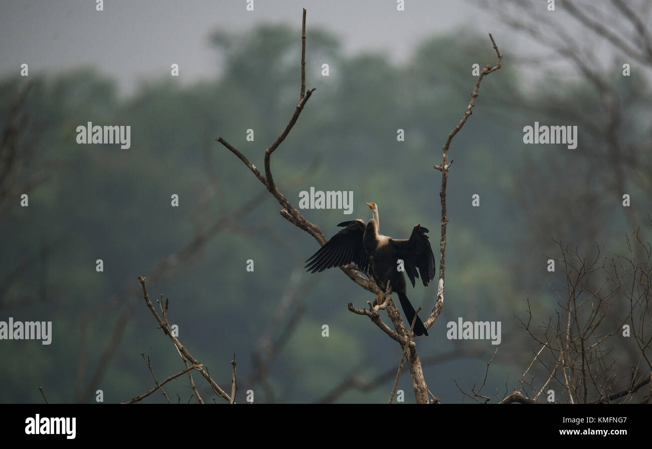 Oriental Darter Bird drying from a tree top under the sun - Stock Image