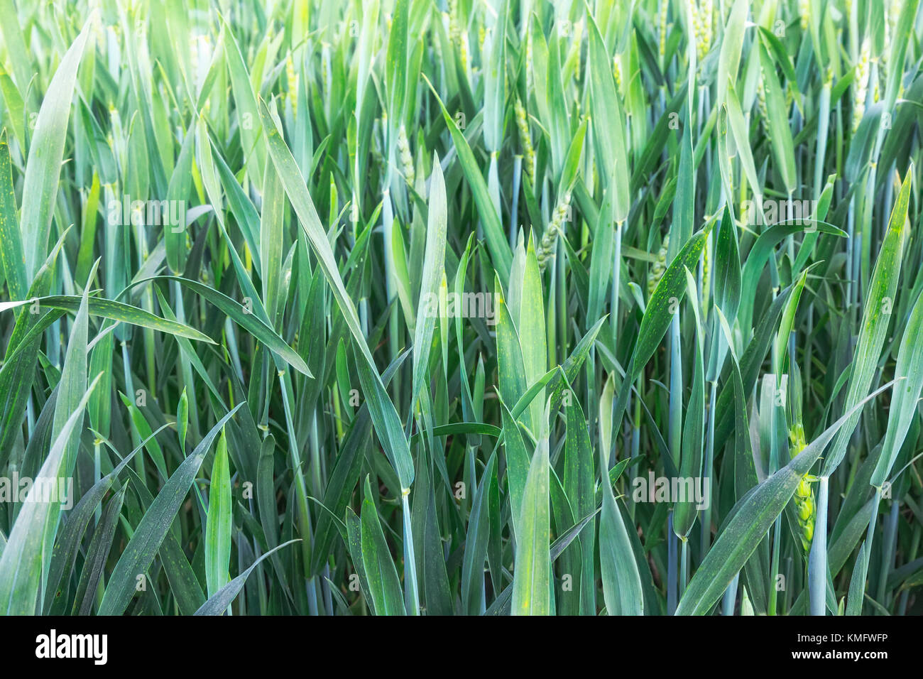 On the field growing young green wheat. Presents close-up. Stock Photo