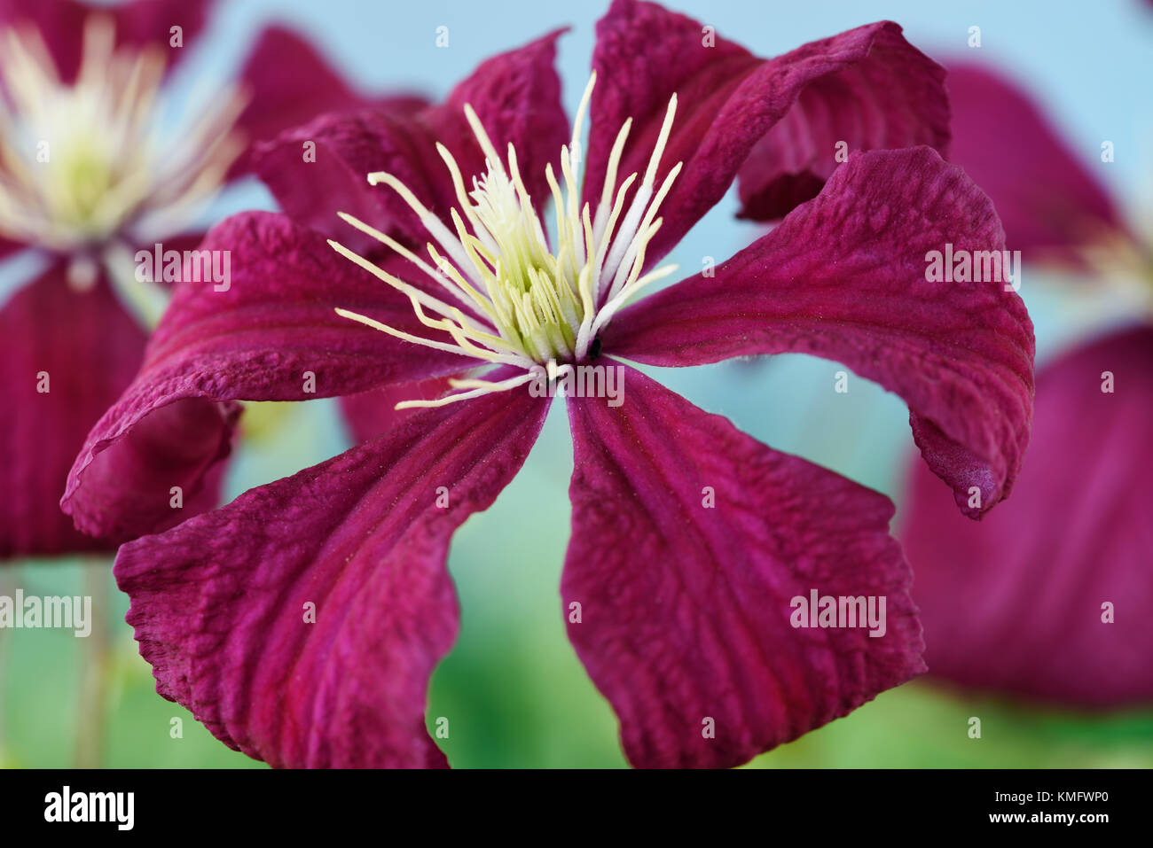 Clematis flower - Stock Image