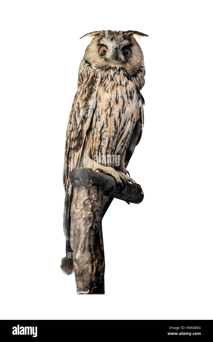 Owl sitting on a branch isolated on white background. - Stock Image