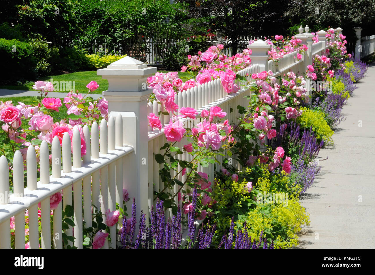 White Picket Fence And Pink Climbing Roses Blue Green And Purple