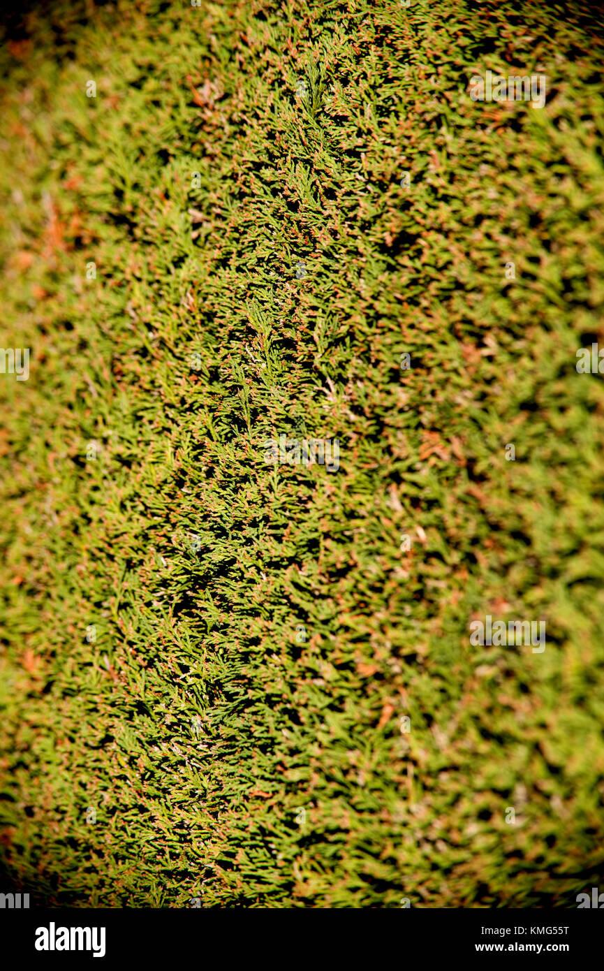 Yew hedge close up Stock Photo