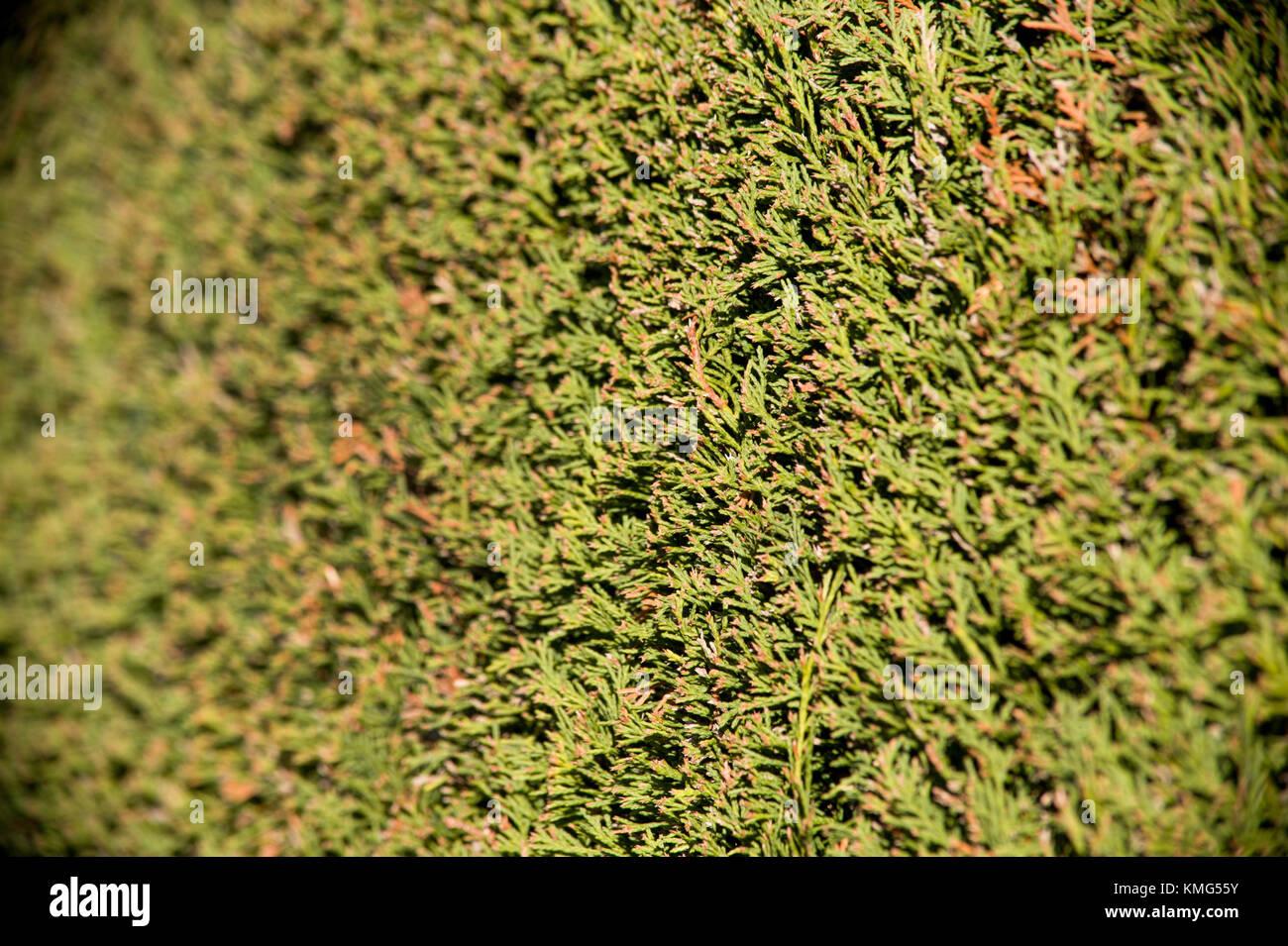 Yew hedge close up - Stock Image