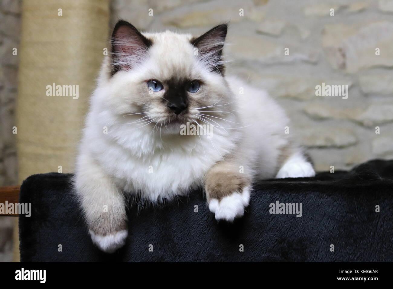 Ragdoll Kittens Cats Stock Photo Alamy