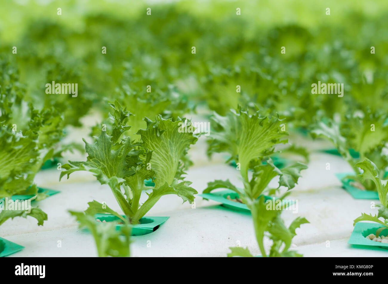 Young green lettuce growth in hydroponics system. It is in close greenhouse environment there for no insect and - Stock Image