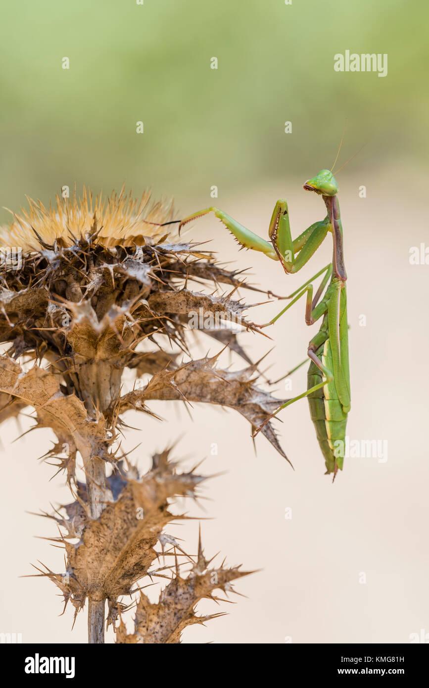 Mittelmeer Gottesanbeterin, Iris oratoria, Mediterranean mantis - Stock Image